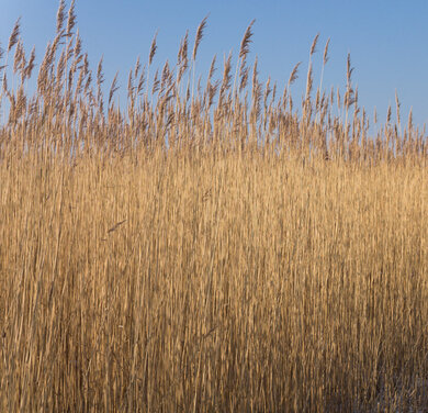 Reed (Photo: lensescape.org)