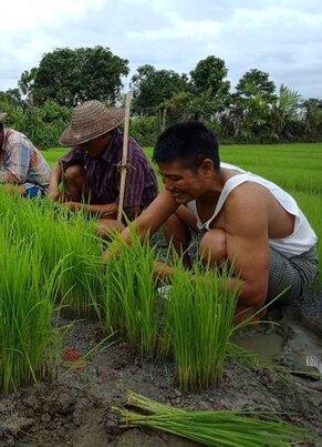 Bioreisanbau (c) Zaw Min Oo